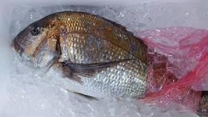 (魚)青森産大型刺身魚1本