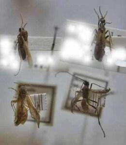 標本 614-16 極珍 ブラジリア/アマゾナス産他 小型ハチ?アブ?の一種たち 4ex 現状特価