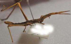 標本 557-46 激レア イタコアティアラ産 Caelifera亜科 体長約30.5mm 現状特価