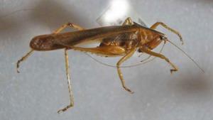 標本 562-19 極珍 ベロオリゾンテ産 Ensifera系の一種 体長約33.6mm 現状特価