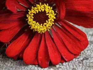 ウィルロジャースジニア (百日草) 種子 5 seed