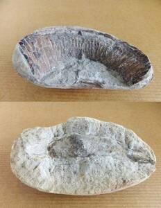 水石・鑑賞石関連 ★17 2個口 魚 化石 ★出土地不明。