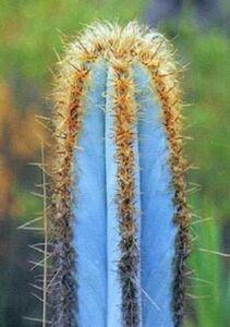 青いサボテン 種子 5 seed