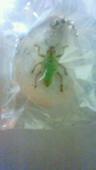 好奇心倶楽部★ホンモノ昆虫標本★アオコフキクチブトゾウムシ