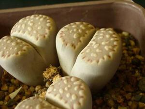 リトープス 福来玉 種子 5 seed