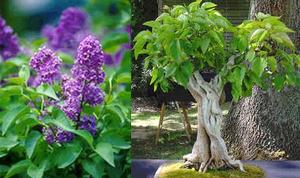 紫丁香花 種子 5 seed
