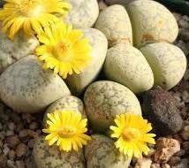 リトープス フランキスキ 種子 5 seed