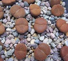 リトープス 摩利玉   種子5 seed