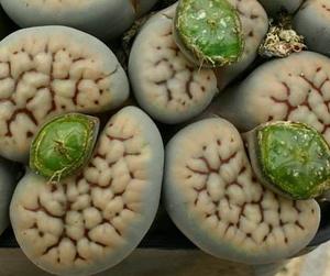 リトープス 招福玉   種子5 seed