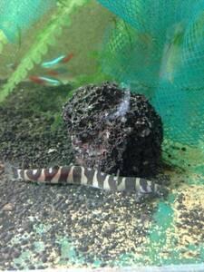 クーリーローチ☆ボーダータイプ☆丈夫で元気な品種のドジョウ☆縞々模様がかわいい☆様々な熱帯魚たちとの混泳も可能ですのでオススメです
