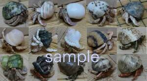 Okaya Dokari Occasion Fill Size 5 + Breeding Supplies 6 Points SP Set