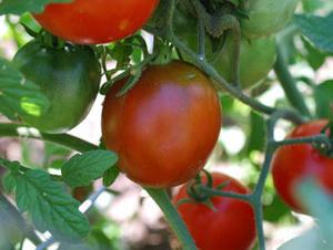 ブラックプリンストマト  種子 5 seed