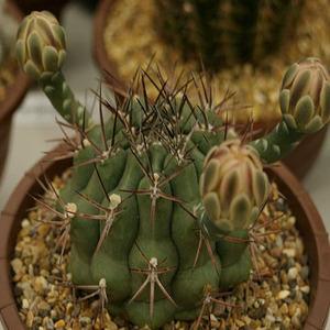 Gymnocalycium schickendatzii 種子 5 seed
